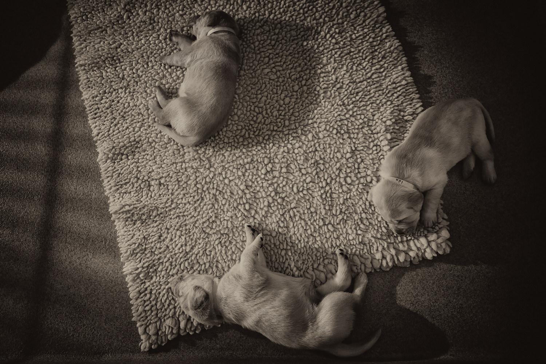 Guiding Eyes pups sleeping.