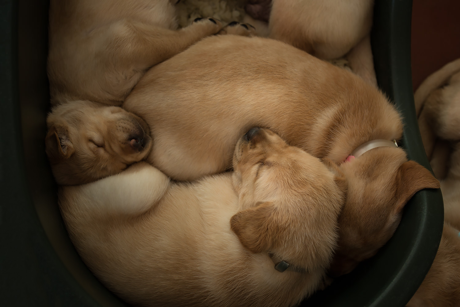 Guiding Eyes pups curled up sleeping in a feed tub.