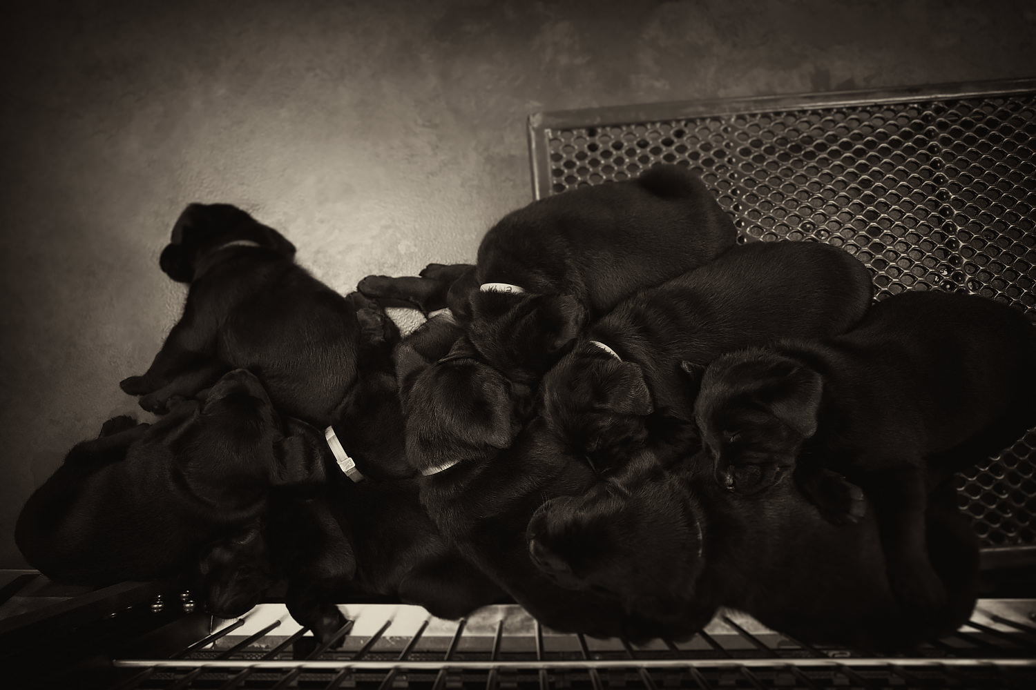 A pile of ten Guiding Eyes black lab puppies.