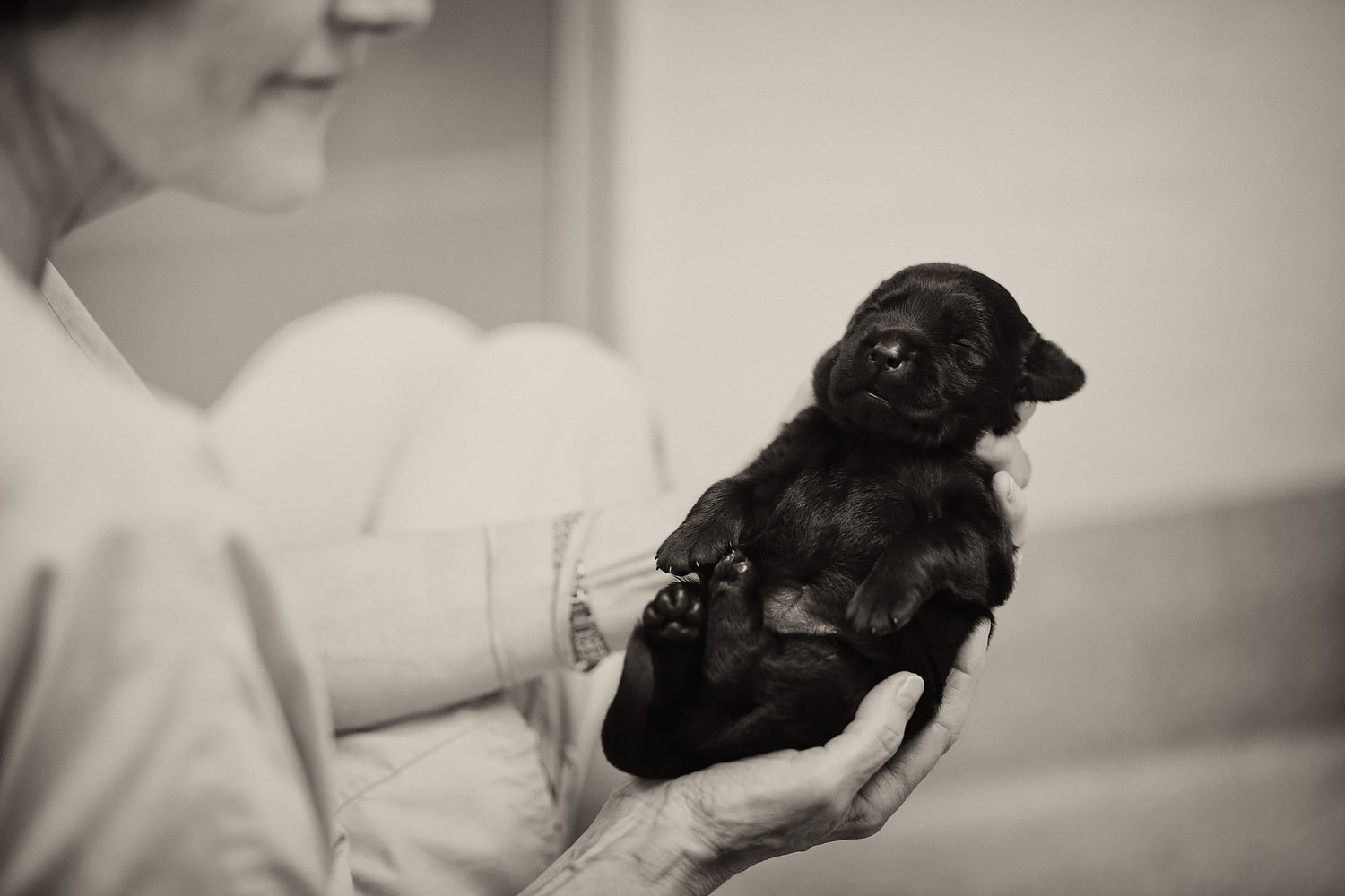 A young Guiding Eyes black lab pup in the palm of a volunteers hands.