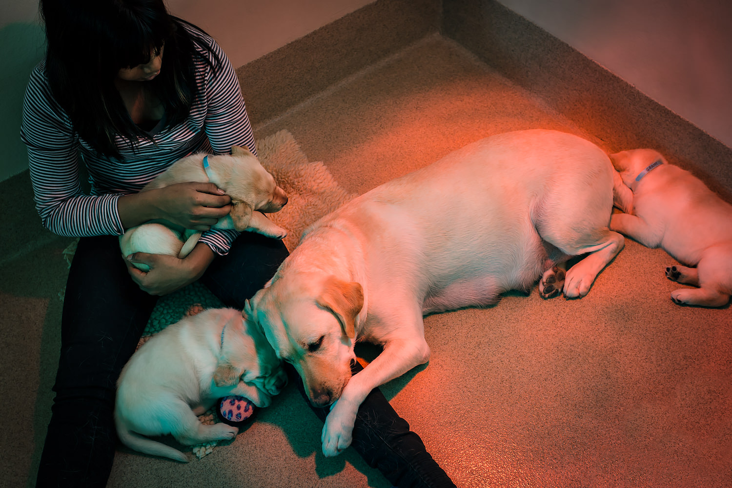 Volunteer sits in Guiding Eyes whelping kennel with brood Adria and her three pups.