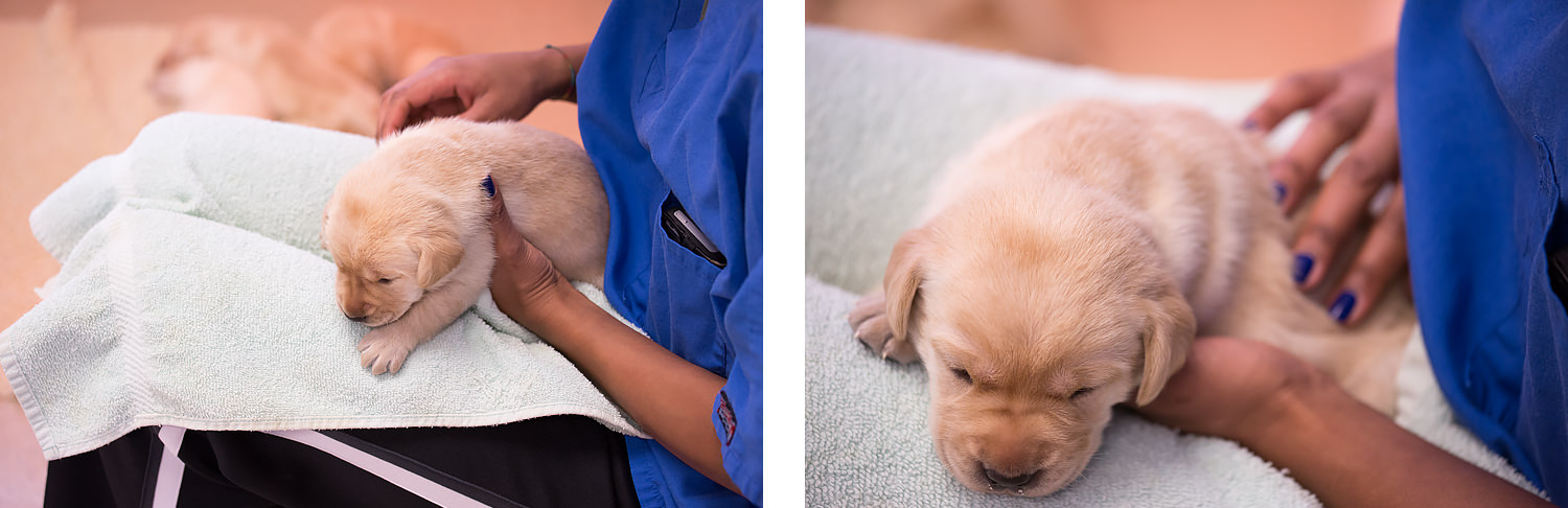 Guiding Eyes volunteer in blue shirt does puppy massage on  yellow lab.