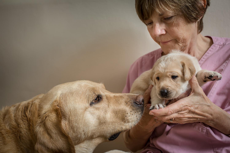 Guiding Eyes brood Vinca sniffs her pup in volunteers hands.
