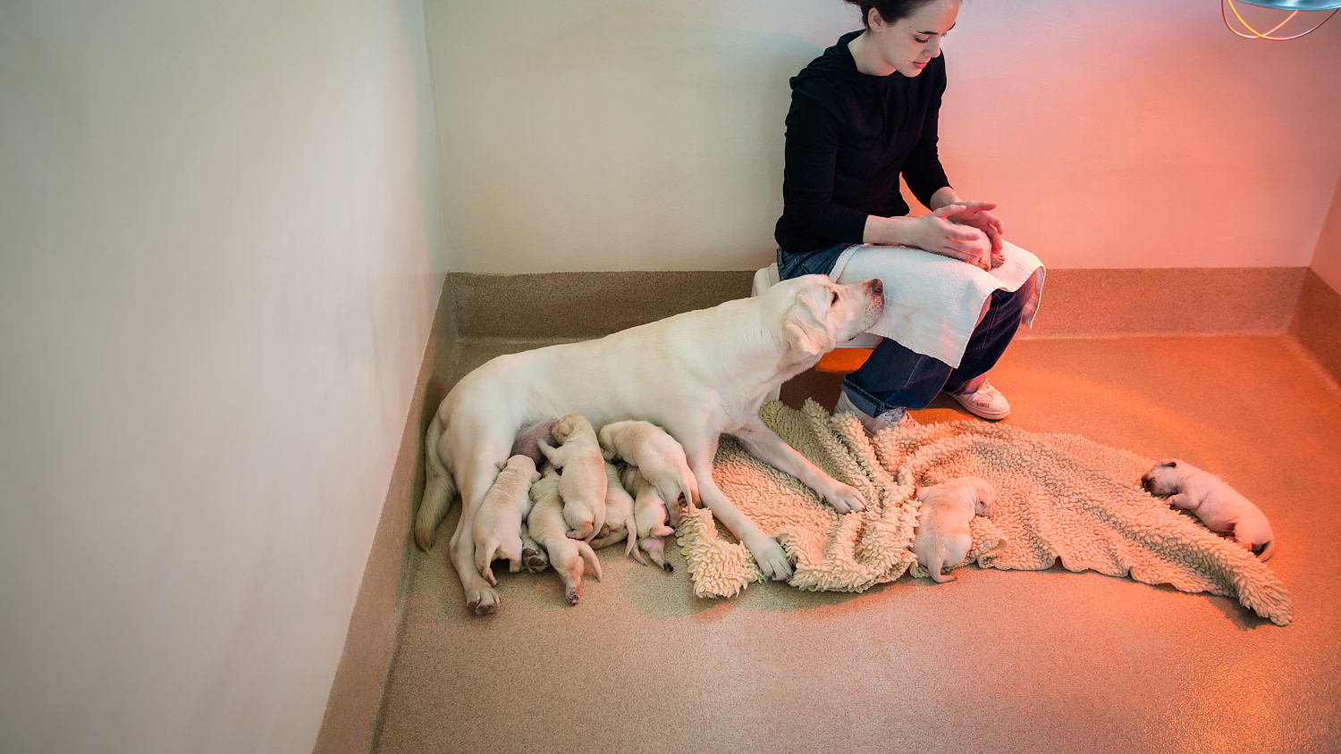 Guiding Eyes volunteer with brood Magnolia and her litter of nine yellow pups.