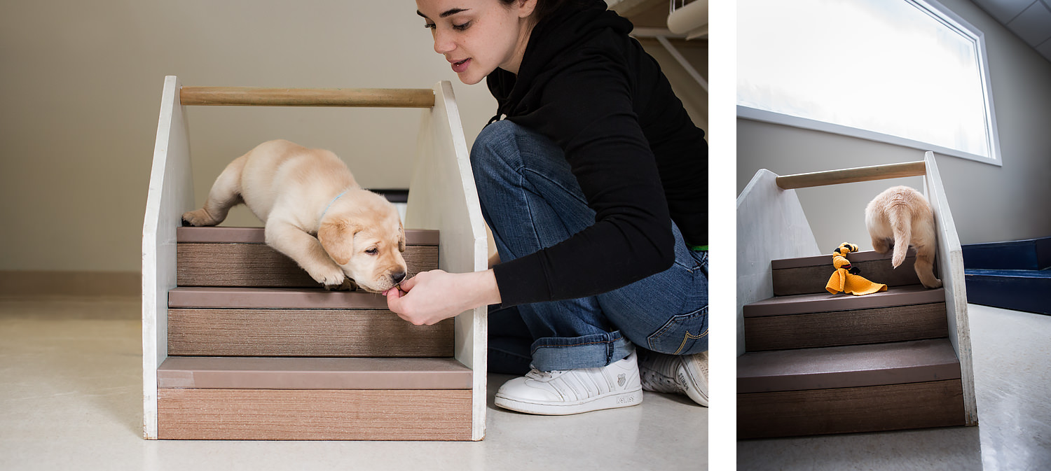 Guiding Eyes volunteer works with pup Gunther on a set of mini stairs.