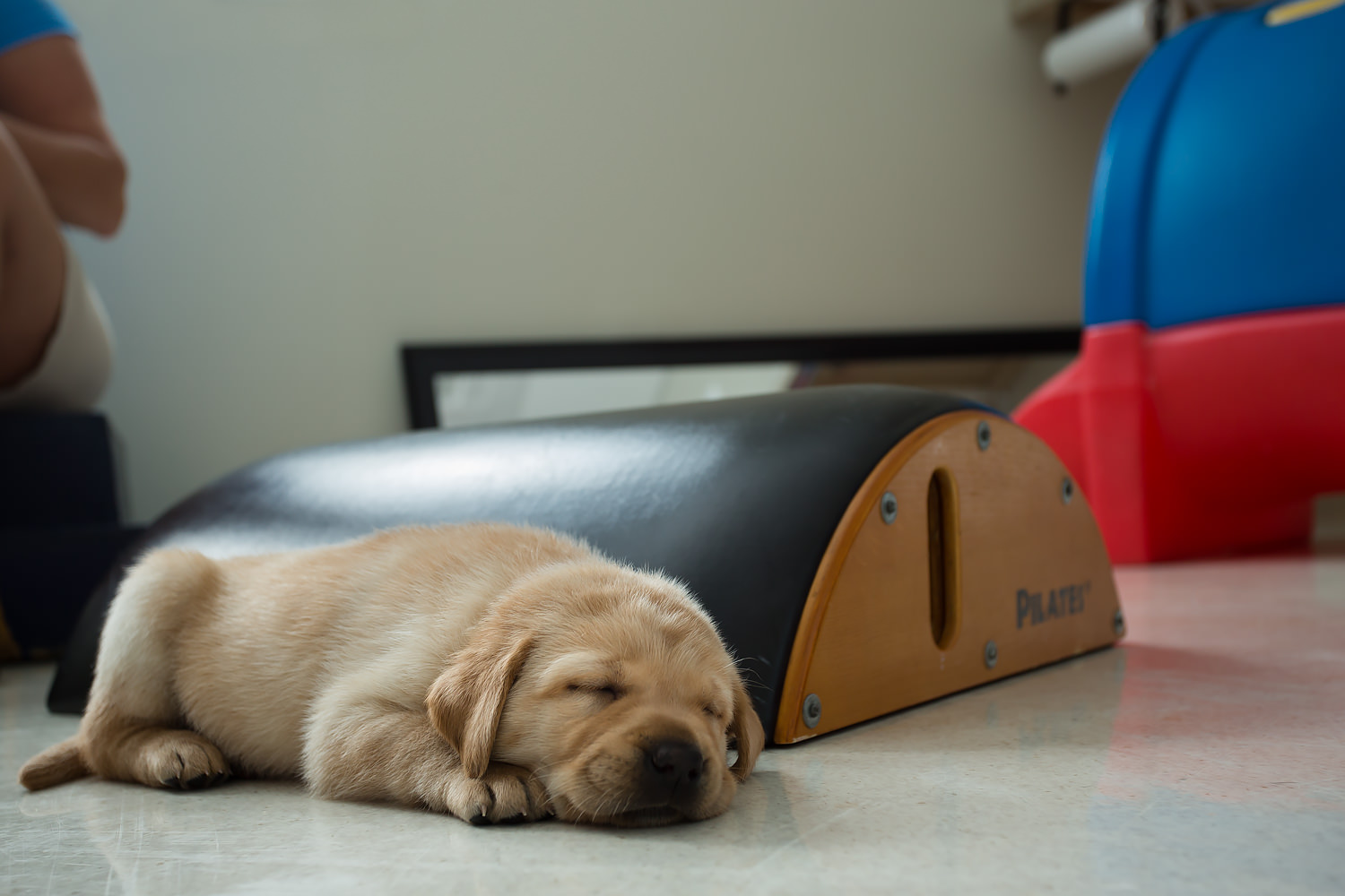 Guiding Eyes pup sleeps on the floor in the socialization room.