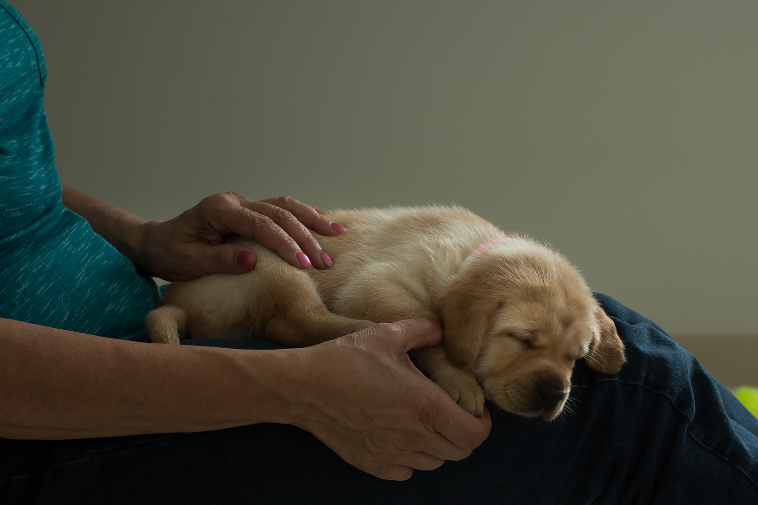 Guiding Eyes pup sleeps on volunteers lap while getting their paws rubbed.