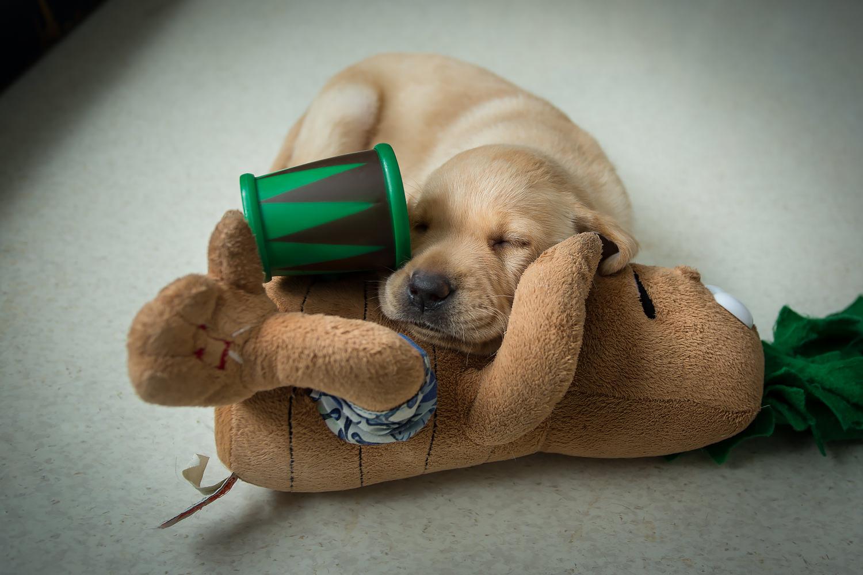 Guiding Eyes pup falls asleep on an animatronic toy.