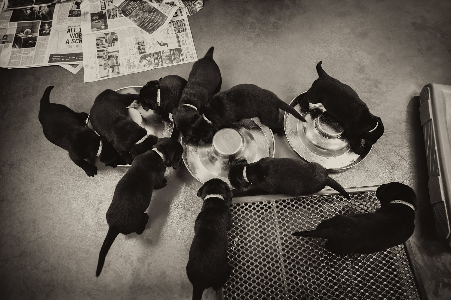 A Guiding Eyes litter of ten black lab puppies eats. out of two large silver bowls.