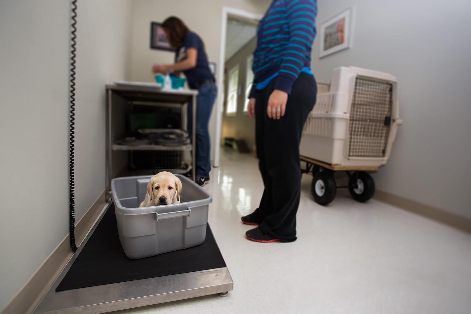 Guiding Eyes pup sits in a tupperware awaiting weigh in.