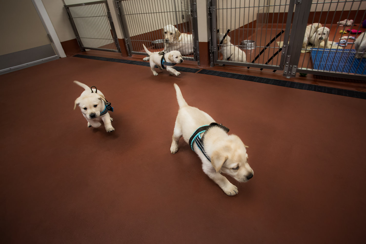 Guiding Eyes pups play in pretend harnesses.