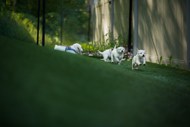 Guiding Eyes pups bound around their turf play area.