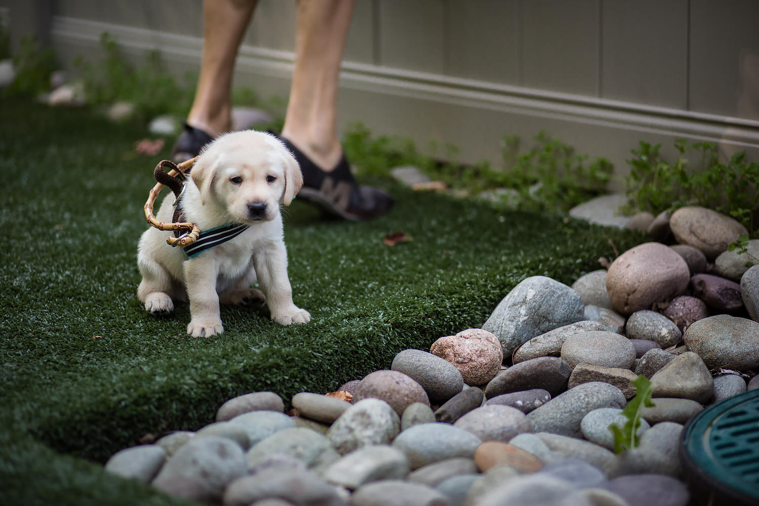 Guiding Eyes pup sits in front of a bed of river rocks.