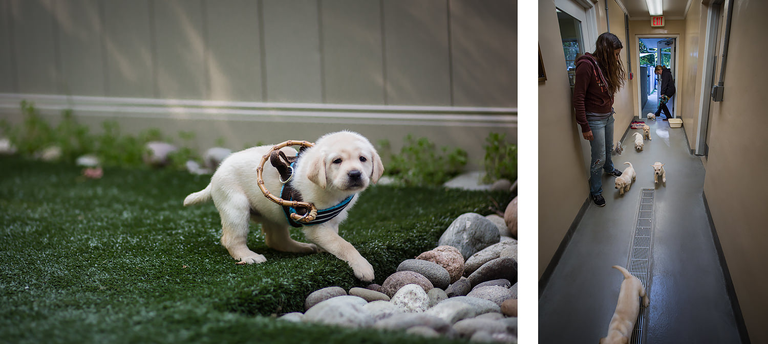 Guiding Eyes pup walks through river rocks and back into whelping kennel.