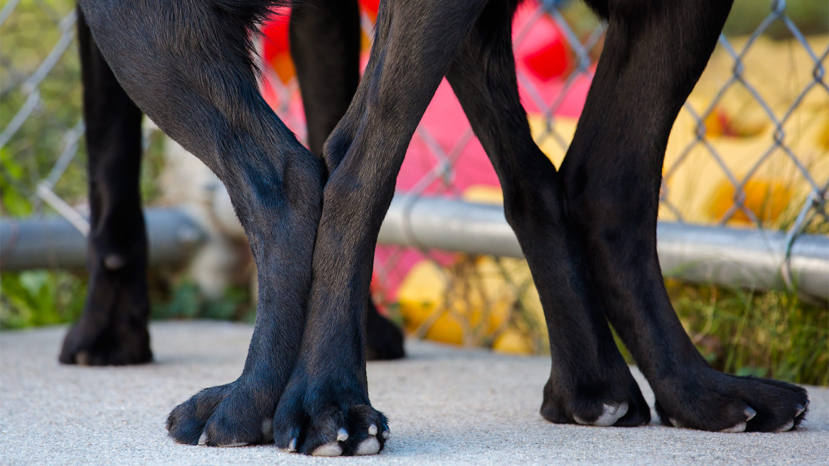 Guiding Eyes breeders hind quarters to hind quarters in breeding tie.